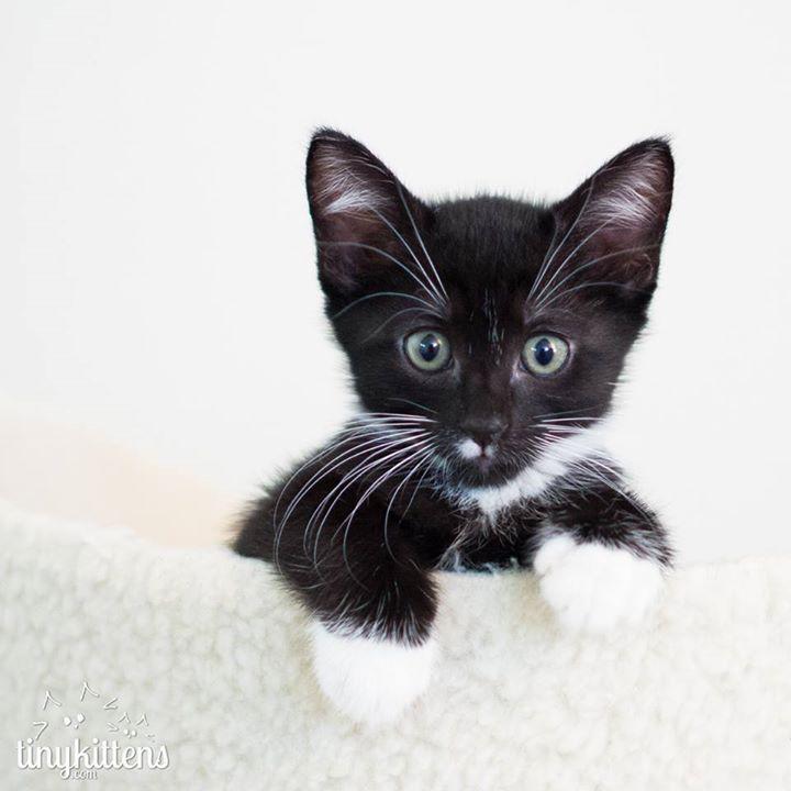 Kitten Tapeworm