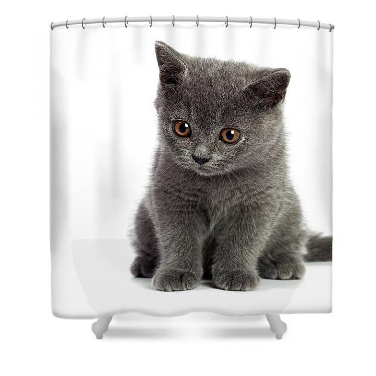 Russian Blue Kittens For Sale