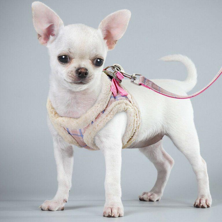 Chihuahua Accessories Uk