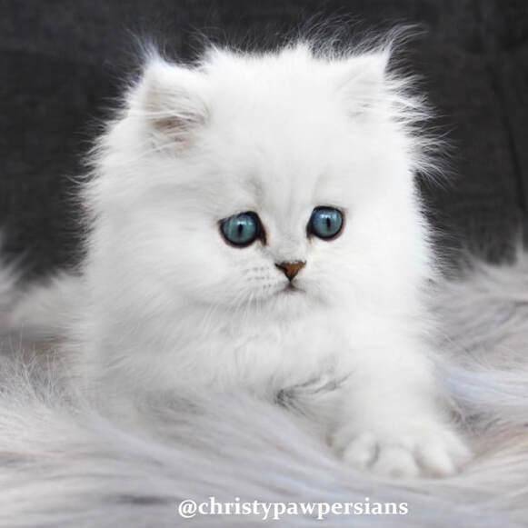 Long Haired Black Kitten