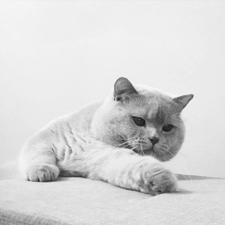 Russian Blue Cat Breeders