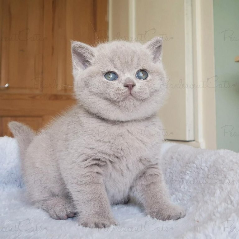 What Is A Pedigree Cat