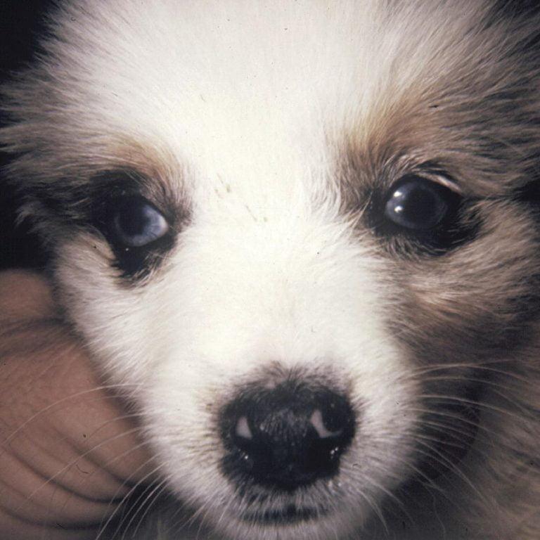 Eye Diseases In Dogs