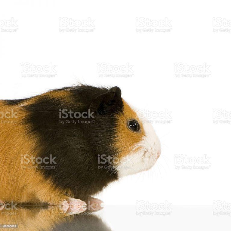 Guinea Pig Rabbit